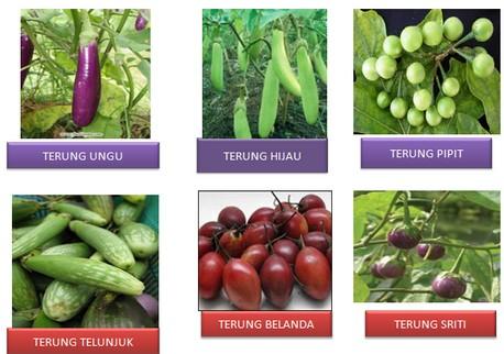 spesies solanaceae