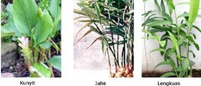 spesies zingiberaceae