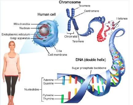 Kromosom Manusia