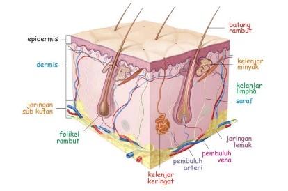 panca indera kulit