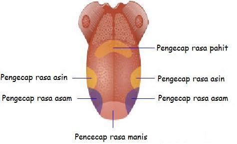 panca indera lidah