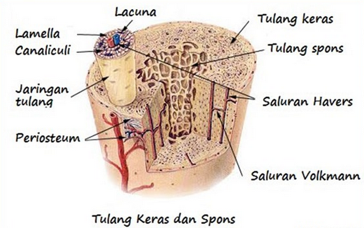 Pengertian Jaringan Tulang - Fungsi dan Lapisan-Lapisan
