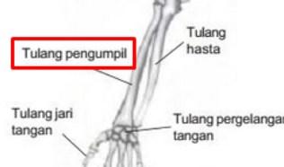 Tulang Pengumpil