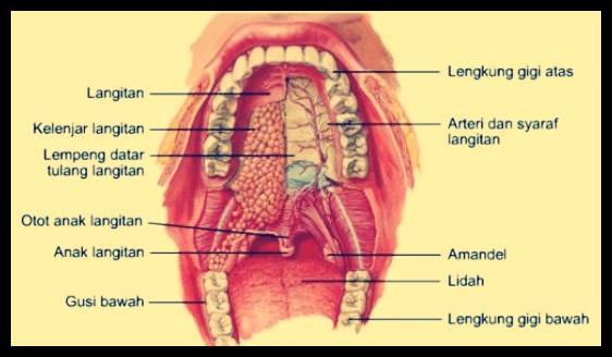 Bagian Bagian Mulut