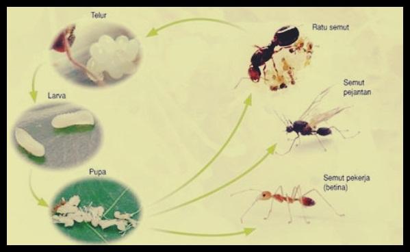 Cara Berkembang Semut