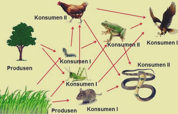 Jaring makanan ekosistem sawah