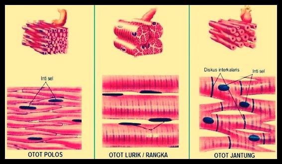 Jenis jenis jaringan otot