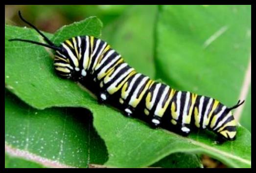 Larva (ulat)