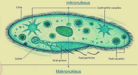 Menyerupai Hewan (Protozoa)