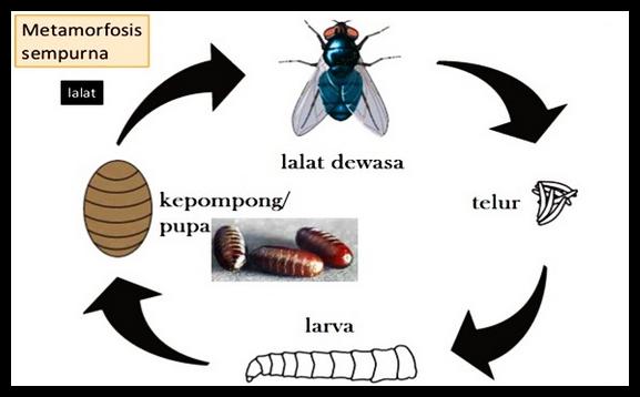 14++ Metamorfosis hewan nyamuk terbaru