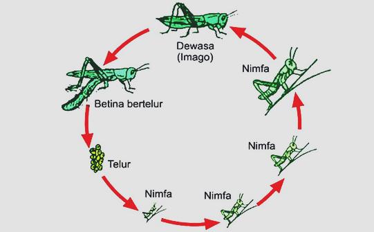 Siklus belalang