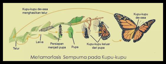 Metamorfosis sempurna kupu kupu