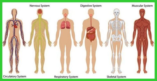 Organ tubuh manusia dan fungsinya