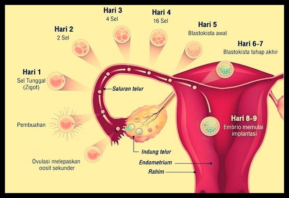 Proses Pepindahan Sel telur yang Sudah Dibuahi
