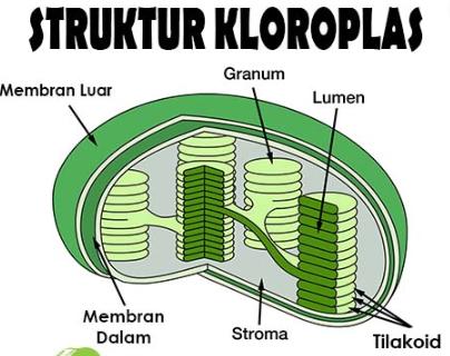 Fungsi Kloroplas