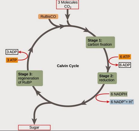 Tahapan Reaksi Siklus Calvin