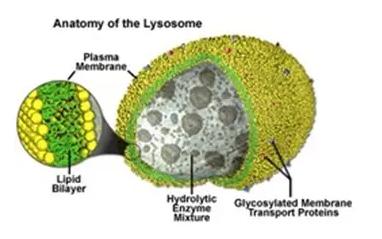 gambar lisosom