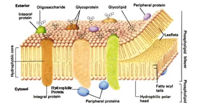 gambar membran plasma